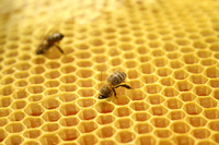 Bees_on_honeycomb