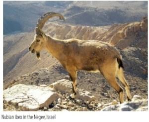 di ibex
