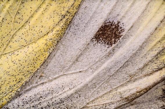 Grünaderweißling-Flügelteil