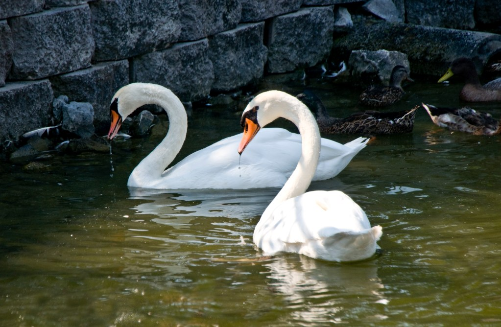 Newark FUMC Two Swans photo by Vicki George