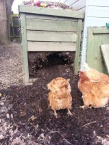 Chickens in the compost heap