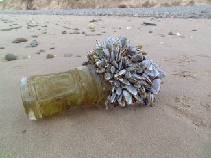 Goose barnacles on a plastic bottle