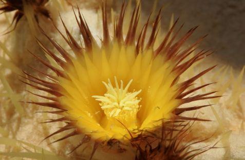 Golden barrel cactus (Echinocactus grusonii)