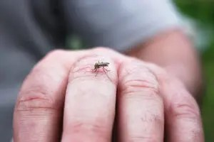 Mosquito about to puncture a man's skin