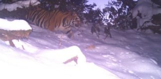 tiger found in dibang valley