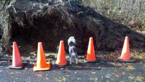 photo of dog Dog surveying uprooted tree