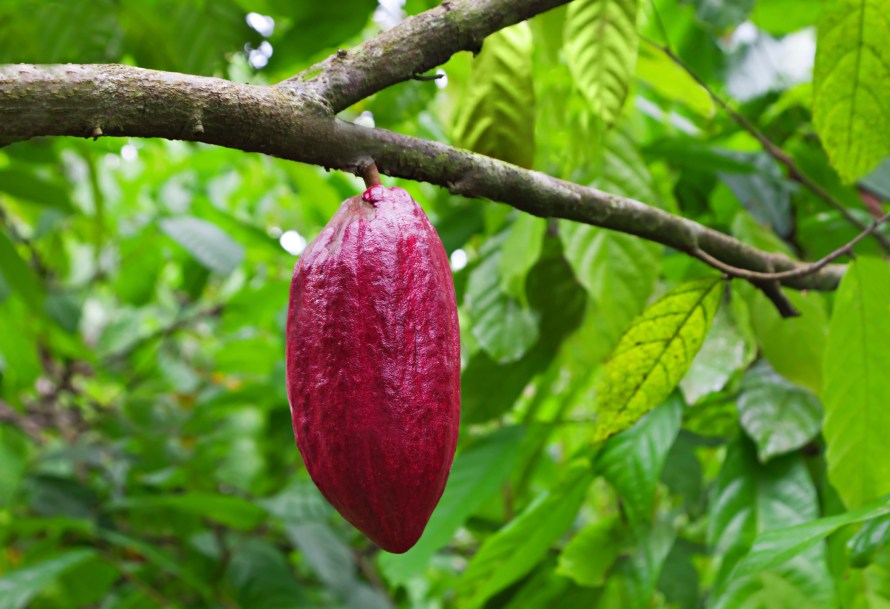 cacao bean on tree chocolate.jpg