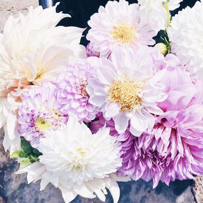newcastle fleur dahlias