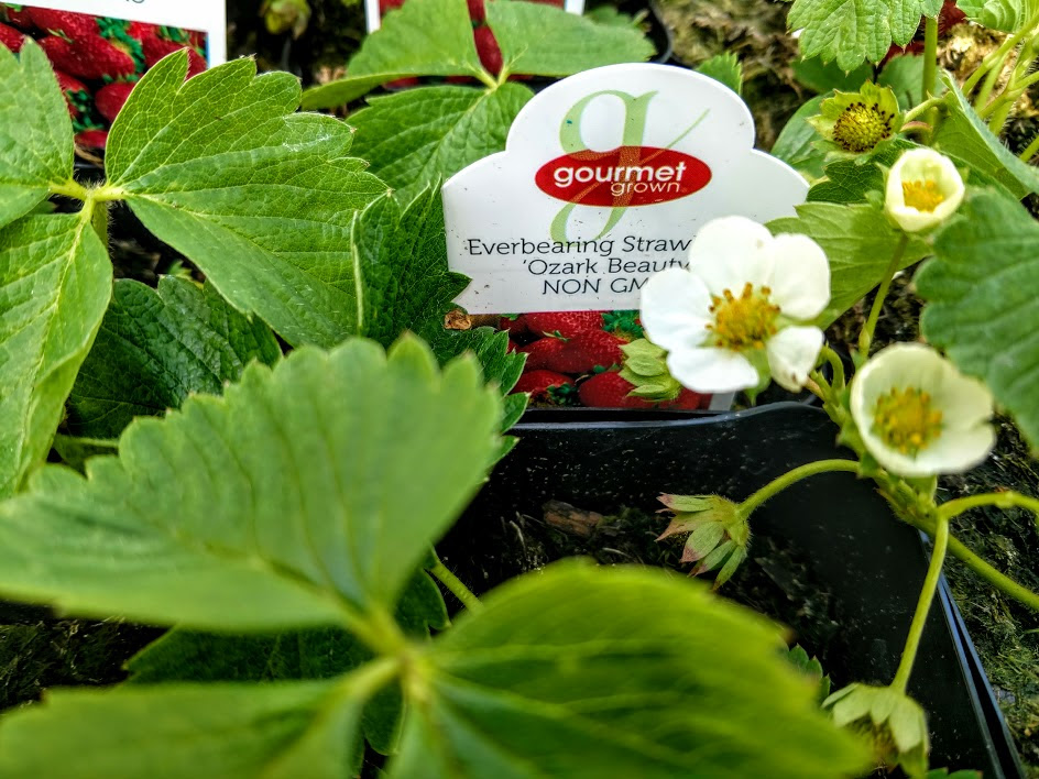 Strawberry Plants