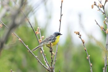 Summer 2019: Have You Seen A Kirtland's Warbler? Birdwatching in Chicago