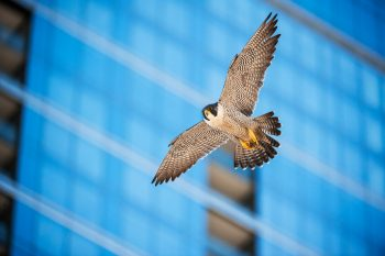 Summer 2019: Urban Ecology—Falcons, Coyotes and How to Re-Wild Downtown Chicago
