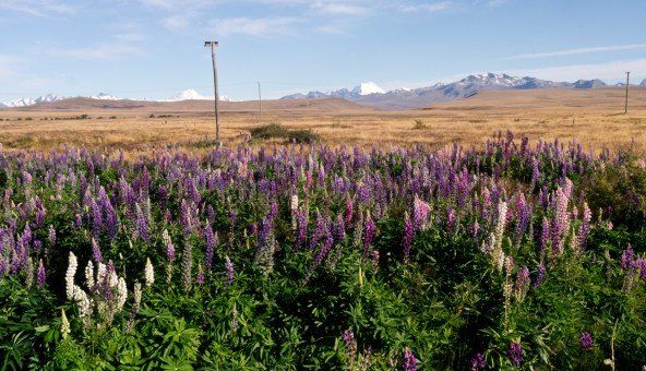 Lupins with Mount Cook in the distance