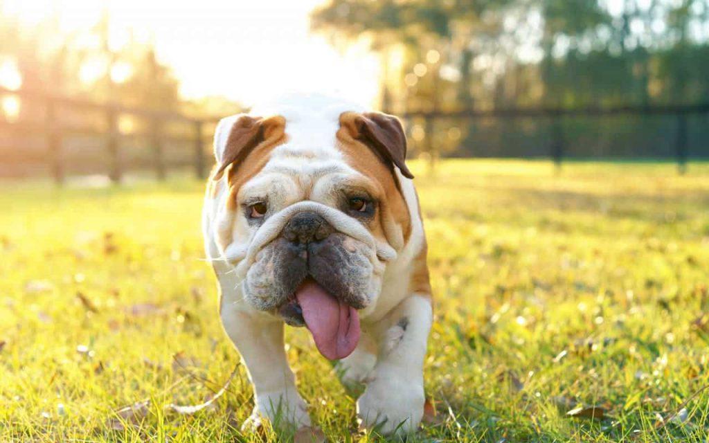 Fall Pug Wallpaper 10 Best Dog Breeds For Children Let Us Help To Decide