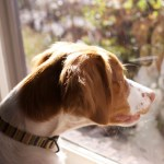Separation Anxiety in Dogs: How to Deal with It
