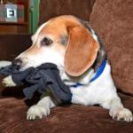"The ""84-Year Old"" Sock-Chasing Beagle: How to Maintain Your New Dog's Health from Puppy Years to Senior Dog"