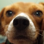 Is A Beagle Right For You?
