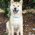 Is a Shiba Inu Right for You?