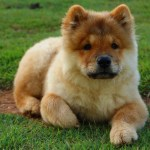 Is a Chow Chow Right for You?