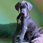 Is a Great Dane Right for You?