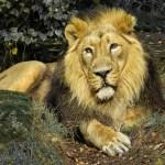 Lion Reiki