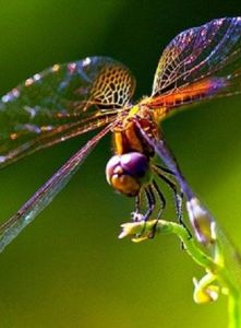 Rainbow Dragonfly reiki