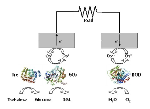 Biocell in Insect Enzyme Based Schematic : New Energy and Fuel