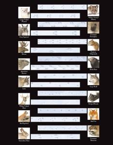 Identify animal tracks also track identification chart new england today rh newengland