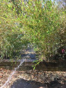 Watering Bamboo