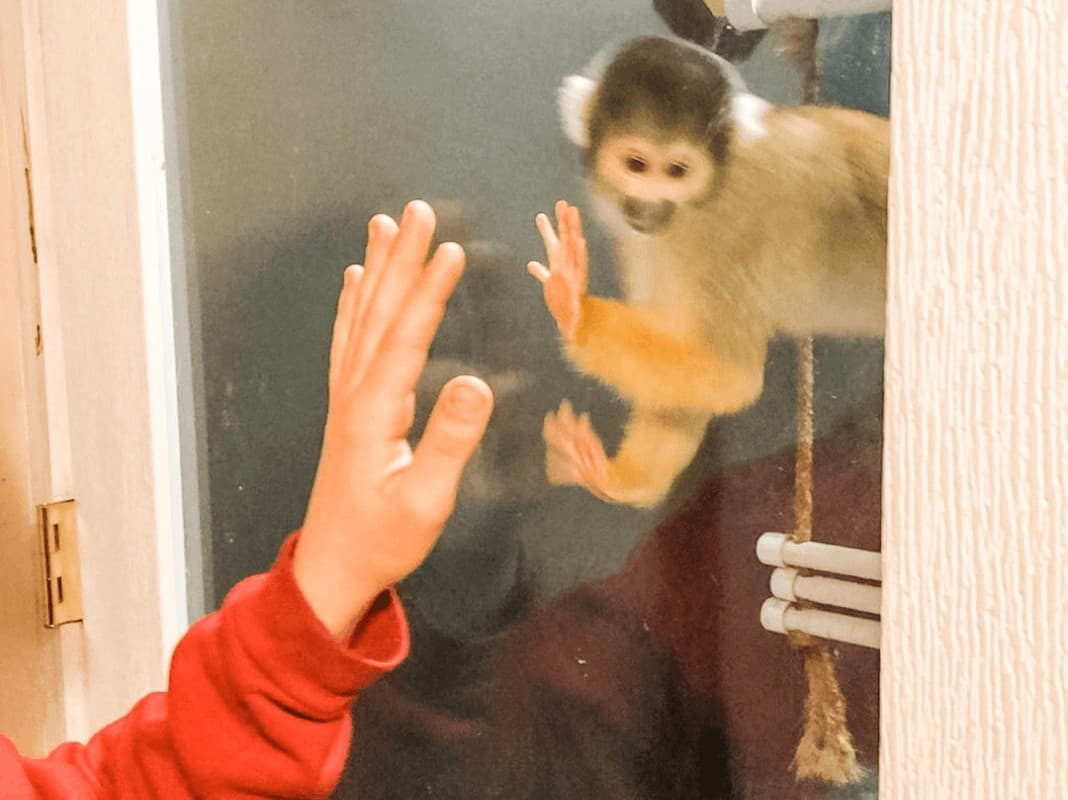 looking like a boy is giving a monkey a high five at Animal Adventures in Bolton, MA