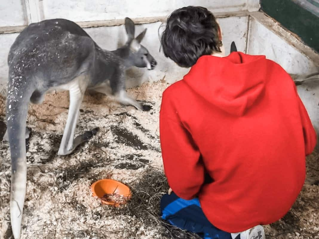 A boy in the kangaroo area at Animal Adventures in Bolton, MA