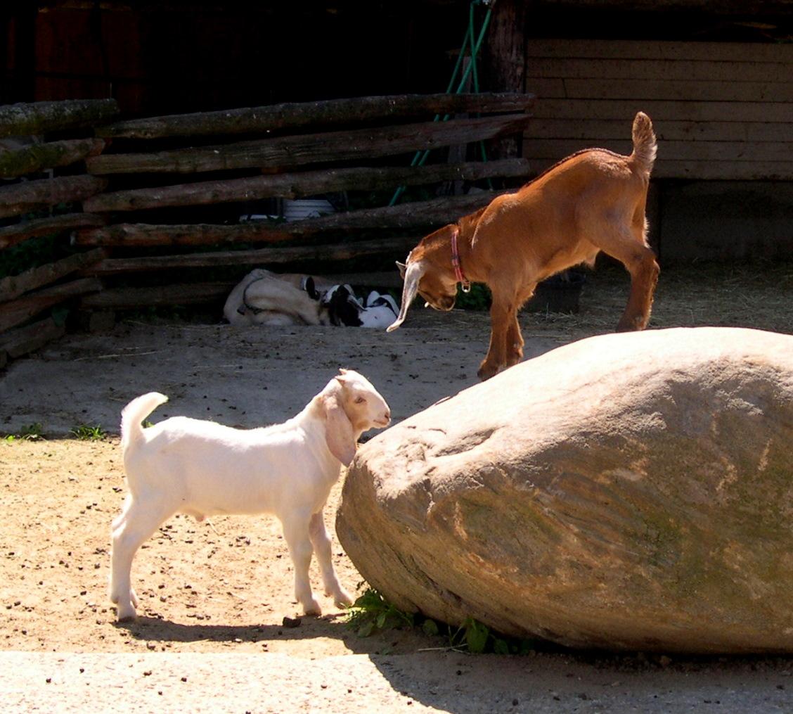 Young Goats at Beech Hill Farm