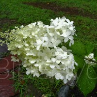 Pictures of Hydrangea Flowers
