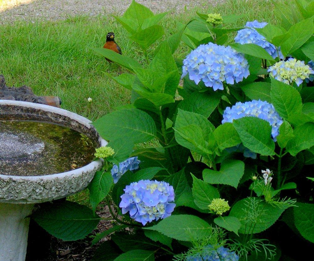 Blue Hydrangeas in Bloom (3/3)