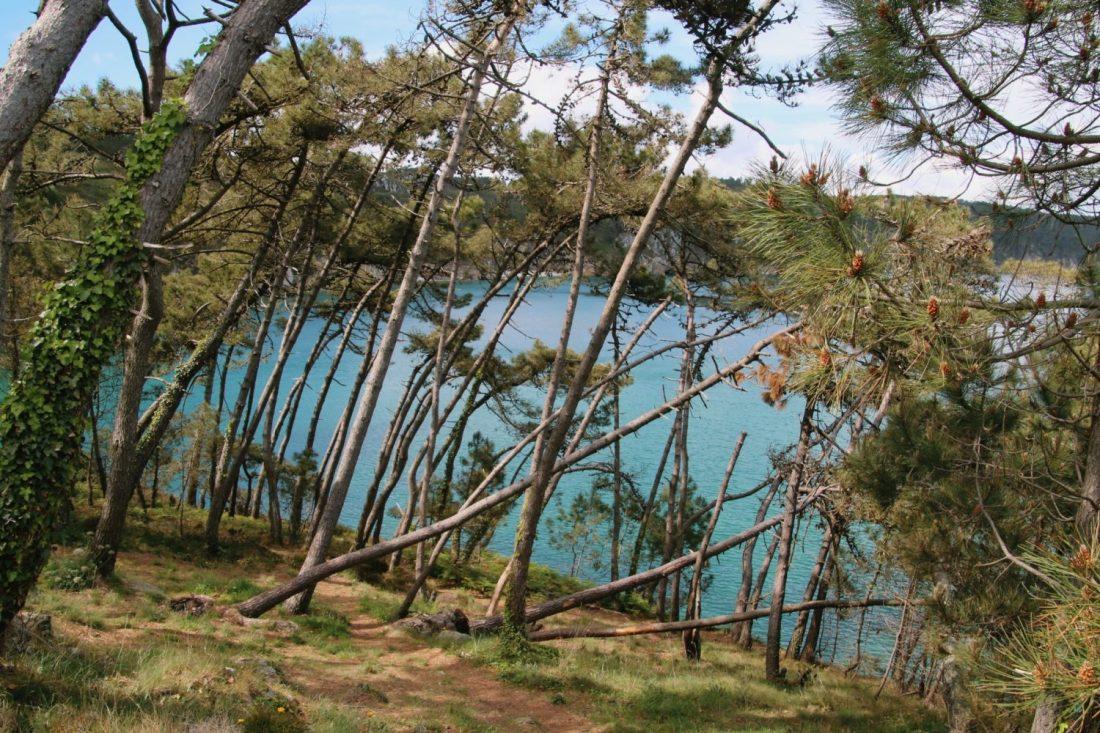 Les pins maritimes de l'île vierge