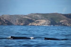 Duo de baleines en Australie