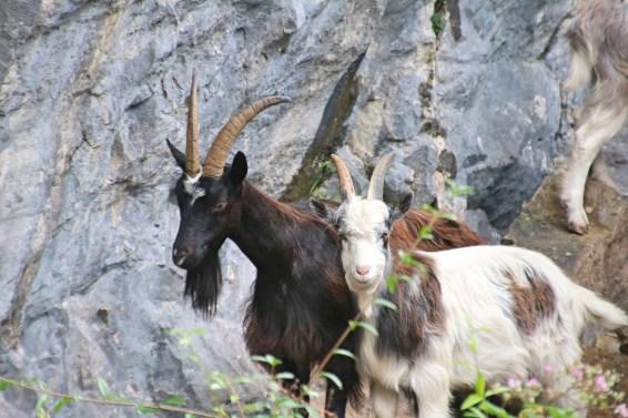 Les chèvres suavages de Cheddar