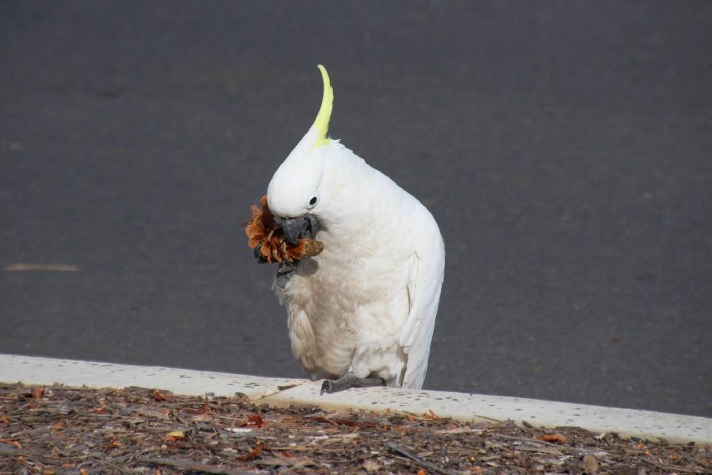 Cacatoès à huppe jaune est un bel oiseau australien