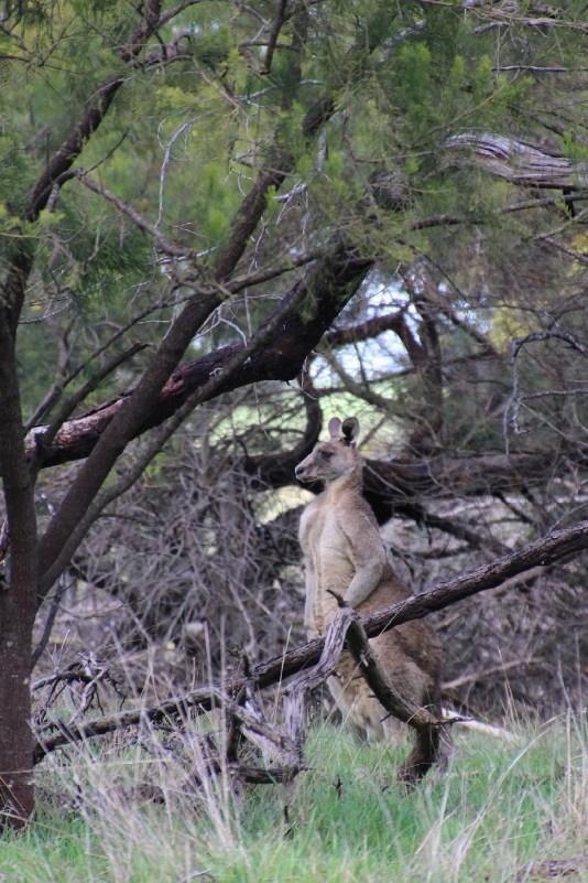 On garde nos distances avec ce grand Kangourou