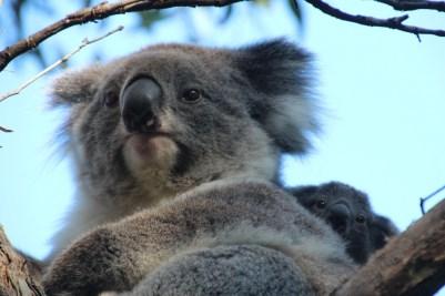photo de famille pour ces koalas