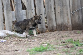 Petit chien sur l'île d'Olkhon, en Sibérie @neweyes