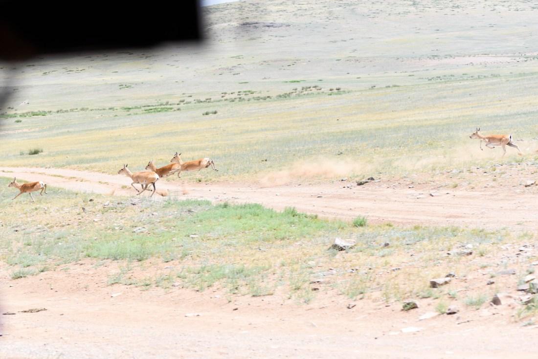 gazelle en course