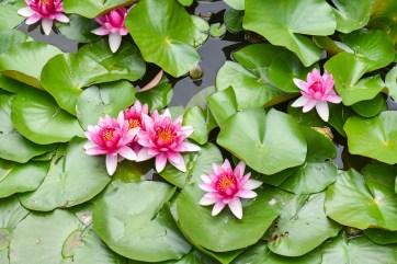 Les lotus du Parc Beihai @neweyes