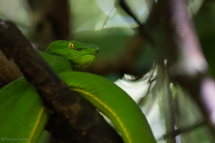 Serpent tropical, le trimeresurus vogeli @neweyes