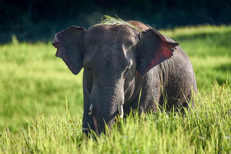 L'éléphant d'Asie croisé à l'état sauvage au nord de la Thaïlande @newyes