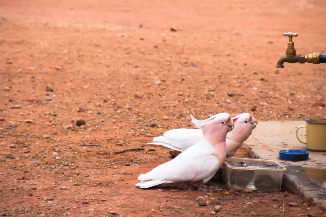 Perroquets dans le désert australien