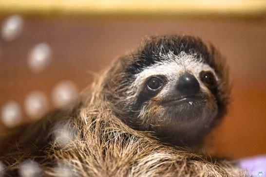 Paresseux au Sloth Sanctuary @neweyes