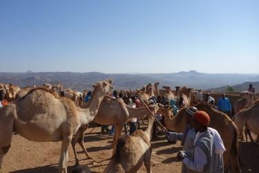 Men examine camels.