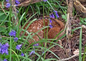 new forest deer