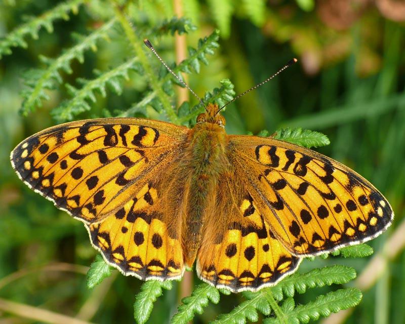 new forest butterflies