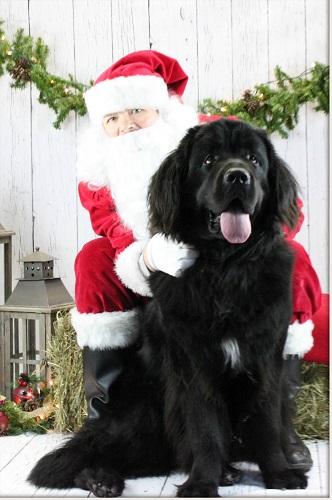 Caramors Finley Newfoundlannd Dog Bred By Caramor